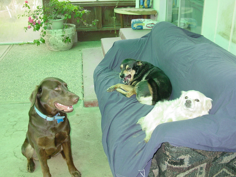 "Buster, Browndog & Snoball taking a break. ""Hey, why can't I get on the couch?"""