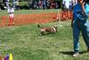 A corgi going through the agility course.