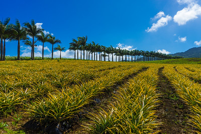 Pinapple trees in Mauritius