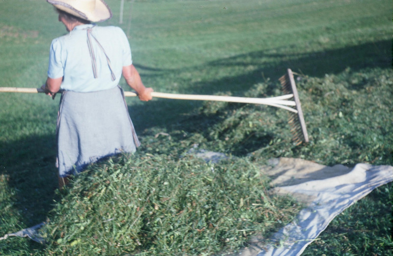 The beginning of a big bundle of hay.  The women worked in shirts.  The rake was made entirely of wood.