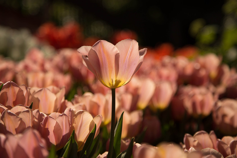 Tulips at Gulhane Park in Istanbul