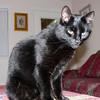 Miles - the black cat