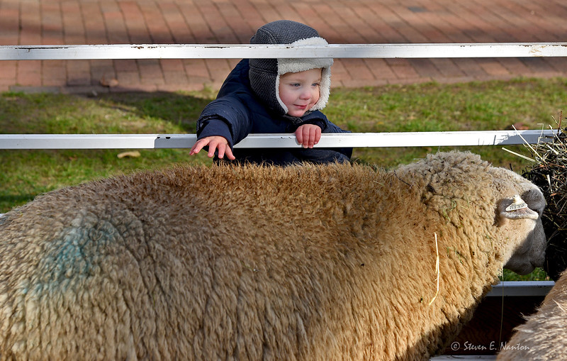 Luke Moskey, 2, of the Feeding Hills section of Agawam, reaches for a sheep from  Little Brook Farm in Sunderland during the Yuletime at Storrowton celebration at Eastern States Exposition in West Springfield on Saturday. The event continues on Sunday. (Steven E. Nanton photo)