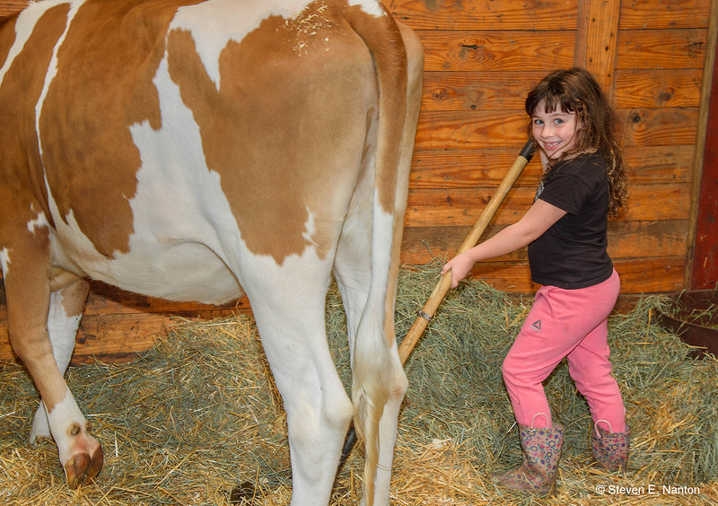 Amelia Coon, 6, of Amenia, New York, helps her father by cleaning out a cow stall in the Mallary Building at The Big E in West Springfield on Sunday. (Steven E. Nanton photo)