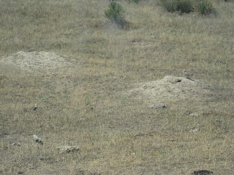 Burrowing owl near tri-corner site