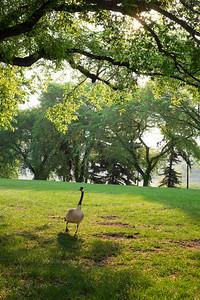 Goose in the sun.