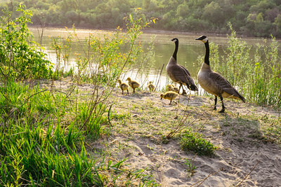 Geese and their Babies