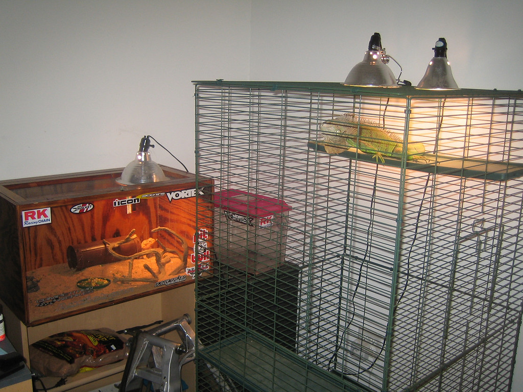 To the left is a cage which houses a lizard that is docile and desert colors named Damian.  The iguana under the light is Fluffy.  She is young and will get a good bit bigger.