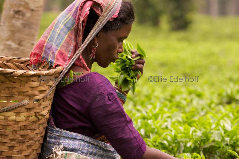 Assam Tea Garden - Assam, India