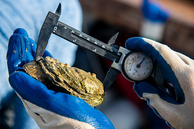 Danielle Zimmermann uses a caliper to measure a freshly harvested oyster shell's length.