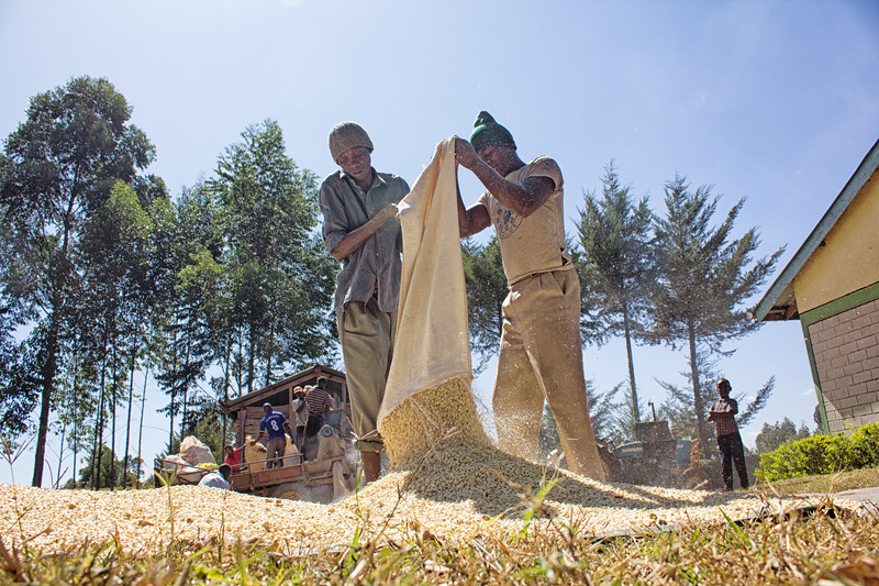 Workers shelling maize