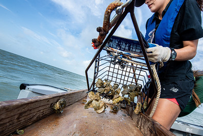 Desiree Corbiere empties an oyster dredge onto a make shift table to be sorted out for collecting research data.