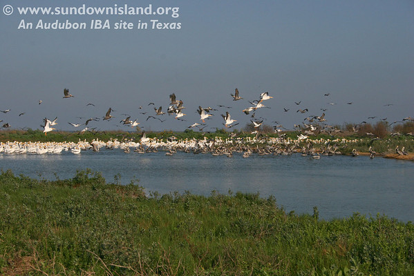 """American White Pelicans, staging for their return home, and Brown Pelicans in the pond at the Southeast side of the island greeted us when we arrived. American Avocets were grouped in the right corner (not seen here).</br>  <strong>Click on any of the photos for a larger view.</strong></b>  <strong>For the largest view, use the """"slideshow"""" option.</strong></b>  <em>Photo credit:  Marcy Spears</em>"""