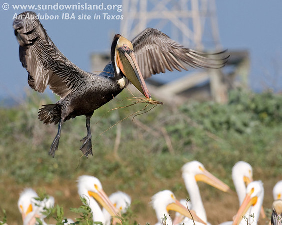 This Brown Pelican is flying in over the American White Pelicans to add material to the nest (Pelican Estates, see map).  <em>Photo credit: Diane Nunley</em>