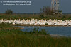 The American White Pelicans in this and the previous photo are beginning to show their short yellowish crest on the back of the head and horny plate on the upper mandible, part of their breeding plummage.</br>  <em>Photo credit:  Marcy Spears</em>