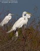 All three of these Great Egrets are displaying the lime green lores. These egrets are famous for their lacy plumes during breeding season (Pelican Estates 2, see map).  <em>Photo credit: Diane Nunley</em>
