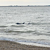<div align=left>Dolphin encounters are always fun. Peggy and Victoria found two dolphins cursing the East side of the island (same side as the dock).  The water is really deep close to shore because of the current and boat traffic.  <em>Photo credit: Peggy Wilkinson</em></div>