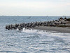 After breeding season, many of the adult pelicans leave the island.  Young adults (not yet breeding) and juveniles remain on the island for the winter. They seem to like to congregate on the Southeast side of the island.<br><em>Photo credit:  Lynn Travis</em>