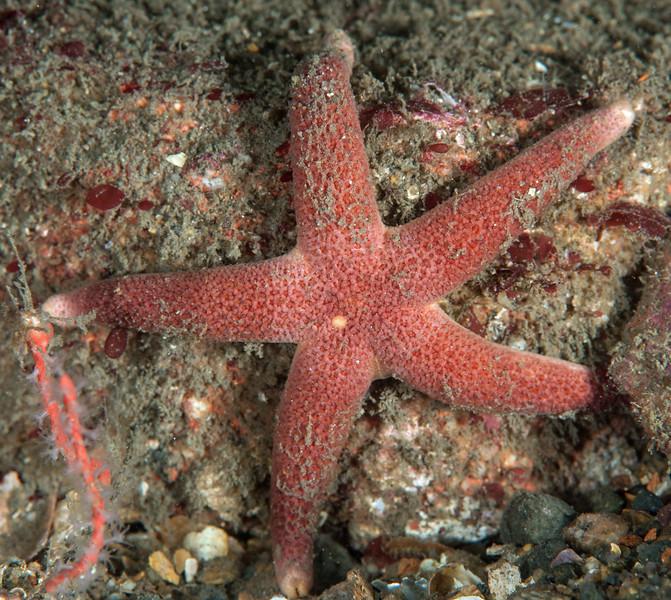 Blood star, Henricia sp.<br /> Barge, Redondo Beach, California