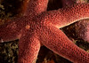 Sea star, Henricia sp.<br /> Halfway Reef, Palos Verdes, California