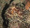 Verrill's Two-Spot Octopus, Octopus bimaculatus