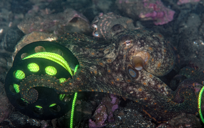 California Two-spot Octopus - Octopus bimaculoides