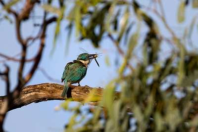 Kingfisher with dragonfly_FLIPPED_DIV2723