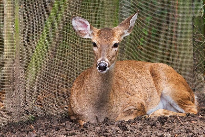 Lone Deer<br /> <br /> Magnolia