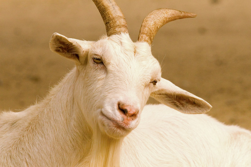 Monochromatic (goat?)