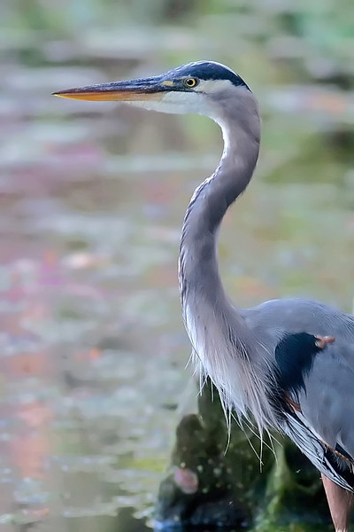 Great Blue Heron<br /> <br /> Magnolia Gardens, <br /> coming onto evening, low light