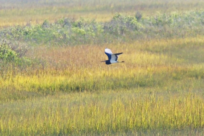 Tri Heron flies across marsh at high tide.  I like it, but it is flawed in pixels.