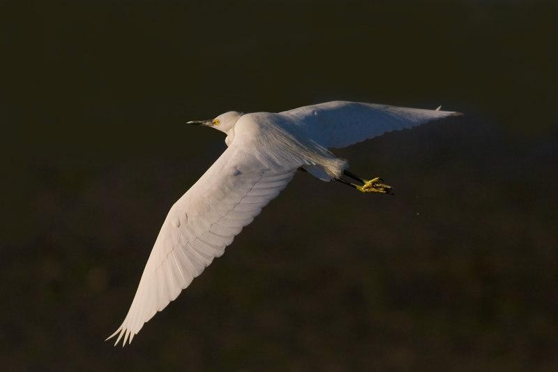 Snowy Egret<br /> 2/7/2007