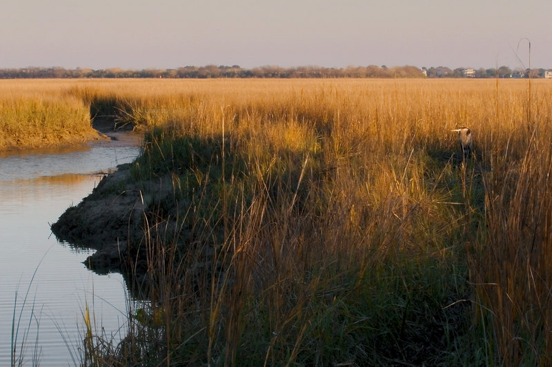 Evening Marsh at Pitt Street Bridge with Great Blue Heron