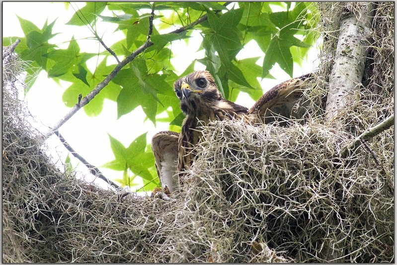 He is in the nest, I am not!  Optical illusion here, or maybe it is just I who is confused.