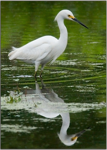 "Snowy Egret before ""Splash"""