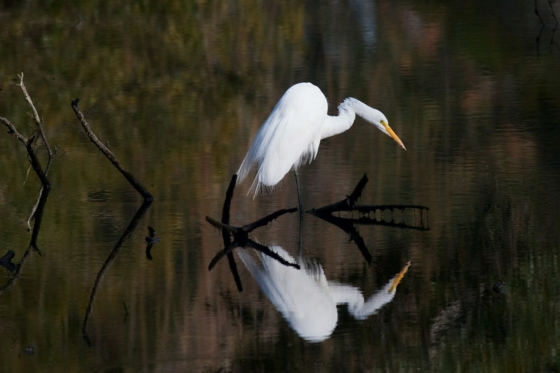 How it was.<br /> <br /> The water is cleaner than it was the last time I was there.  And egrets show up so well against dark backgrounds.