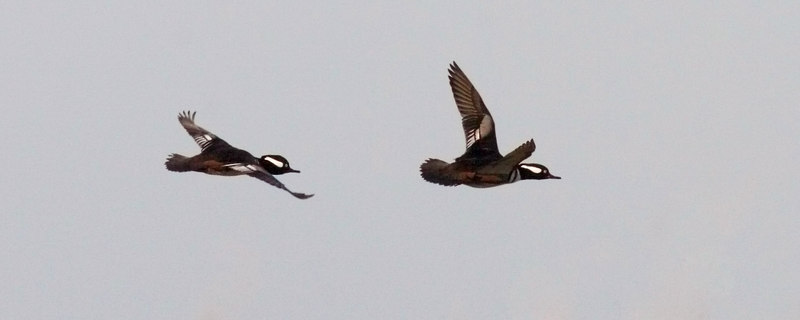 Male Hooded Messengers in flight<br /> (Have them good in the water, too.)