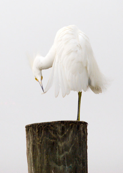 Sculture On Exhibit: Preening Egret.<br /> <br /> 12/13/2006