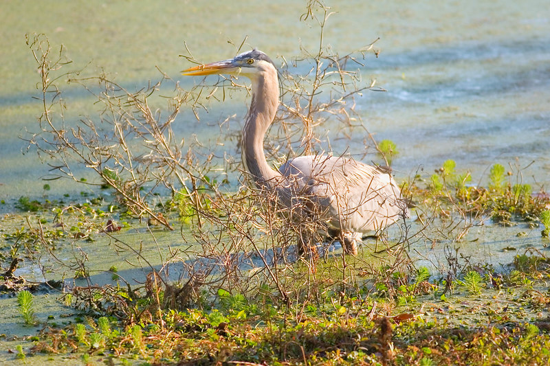 Great Blue Heron<br /> All In A Tangle!