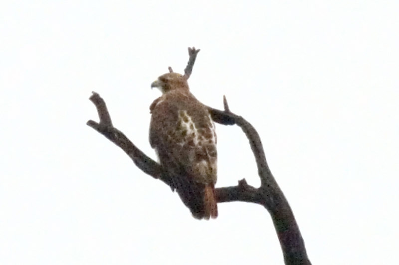 Red Tailed Hawk (just beyond reach of my camera)