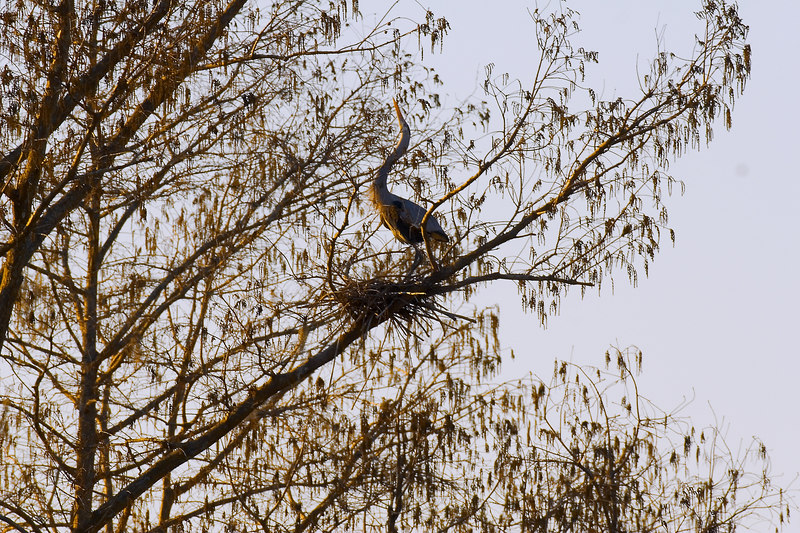 Great Blue Heron at the nest