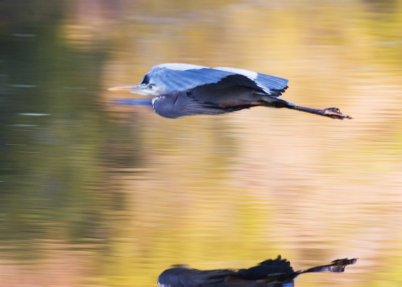 """Great Blue Heron and a missed reflection<br /> 12/19/2006 for wed<br /> <br /> <br /> <br /> <br /> Or please see the alternate, I had a lot of trouble deciding.  I chose this Great Blue Heron because it was the most noticeable thumbnail from today.  I went birding.  The sun did something interesting here in a photo of a little duck.  I have never had this happen before:<br /> <br />  <a href=""""http://upacreekphotography.smugmug.com/gallery/1353648/1/117847564/Large"""">http://upacreekphotography.smugmug.com/gallery/1353648/1/117847564/Large</a>"""