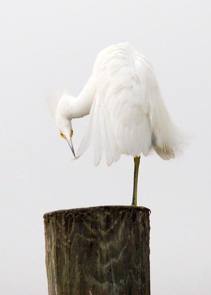 Sculture On Exhibit: Preening Egret.<br /> <br /> 12/13/2006