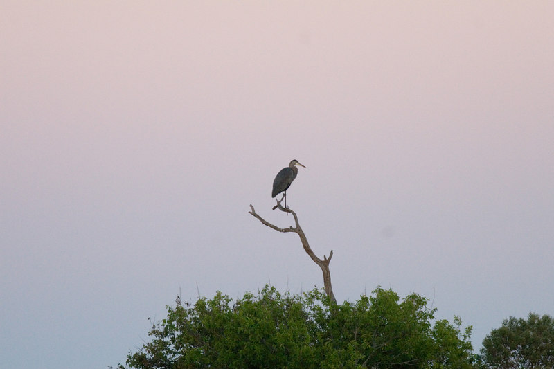 heron on that tree area, just to show sky color, a little later
