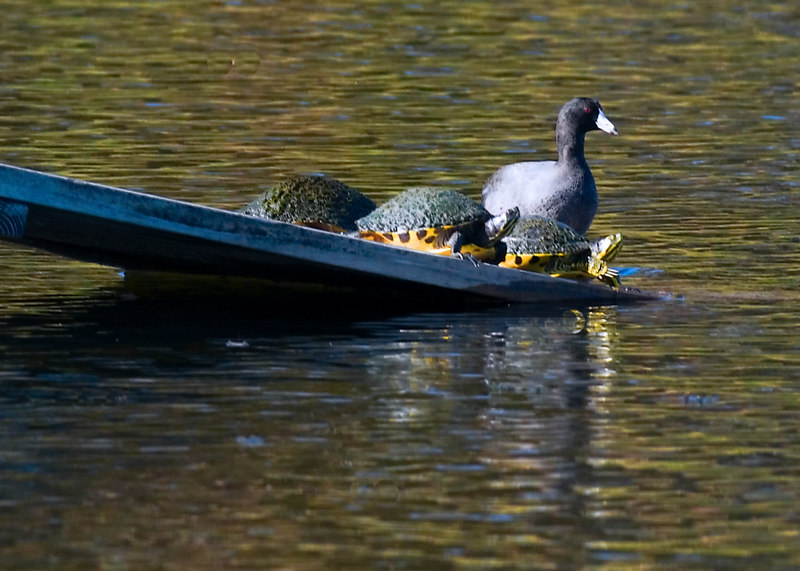 A coot, on the aligator resting place, with turtles.  I liked the turtles who were ready to move on off into the water.