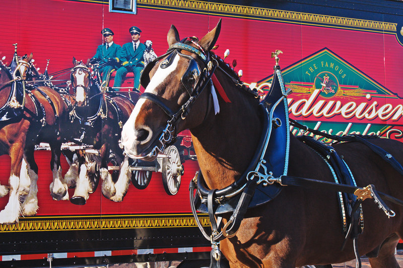 "photo from yesterday on Daily.  A ""dressed"" Clydesdale in front of a large trailer with the sign and all.  Actually the one I used was cropped a tad."