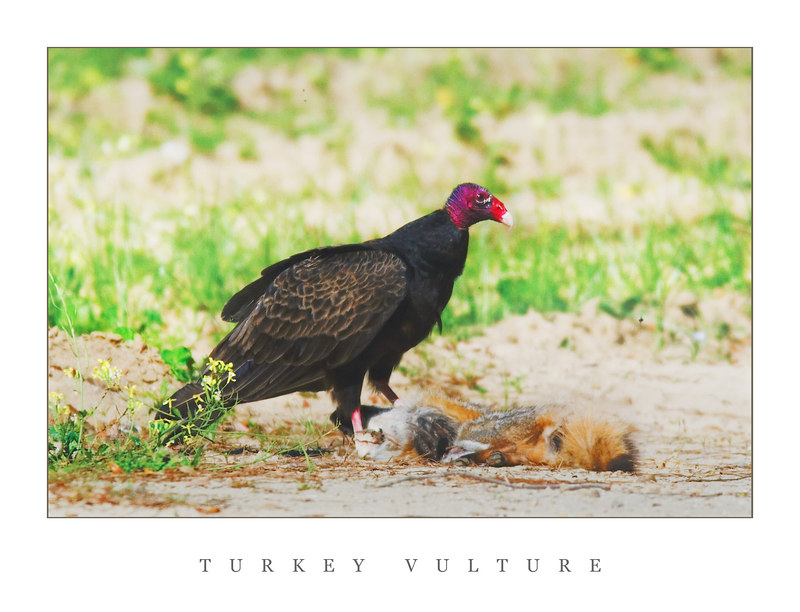 "If I could catch him, he would be my new ""housekeeper"".<br /> <br /> Turkey Vulture"