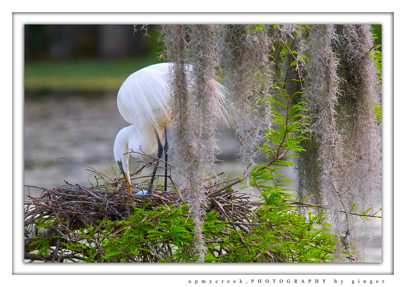 Great White Egret with Egg on Nest at Easter time at Magnolia Gardens, SC