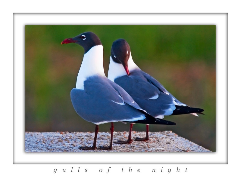 Gulls Of The Night