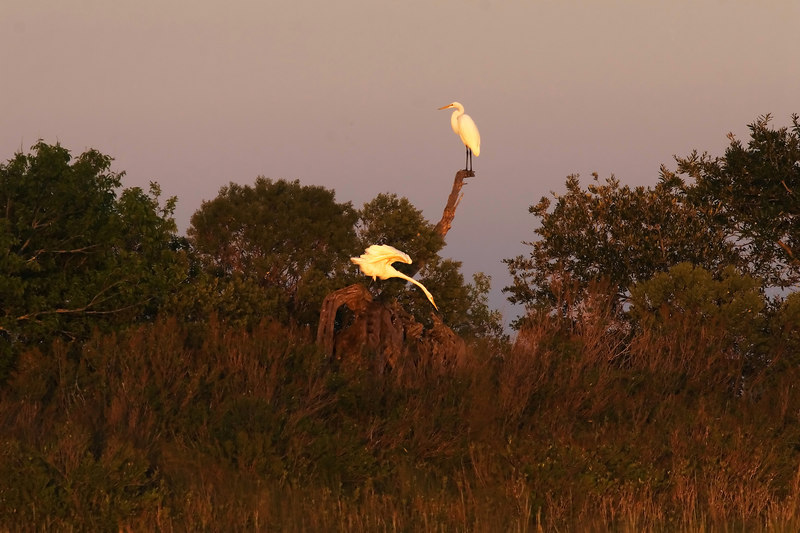 I put this up yesterday.  Two egrets in the same dry hillock.
